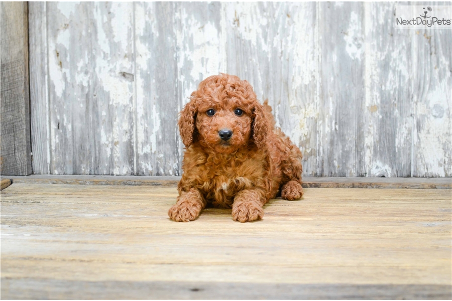 Mini Spencer: Goldendoodle puppy for sale near Columbus