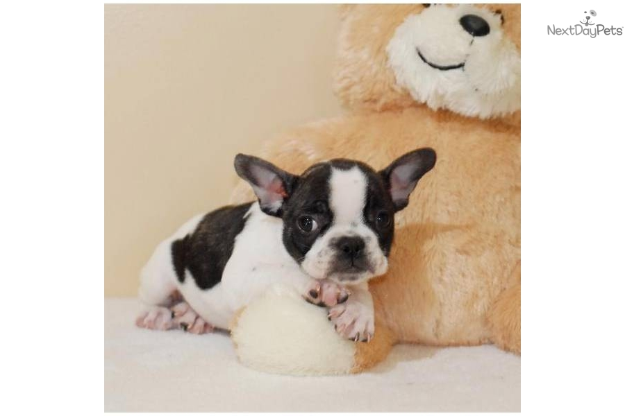 affordable french bulldog meet jennica a cute french bulldog puppy for sale for 7242