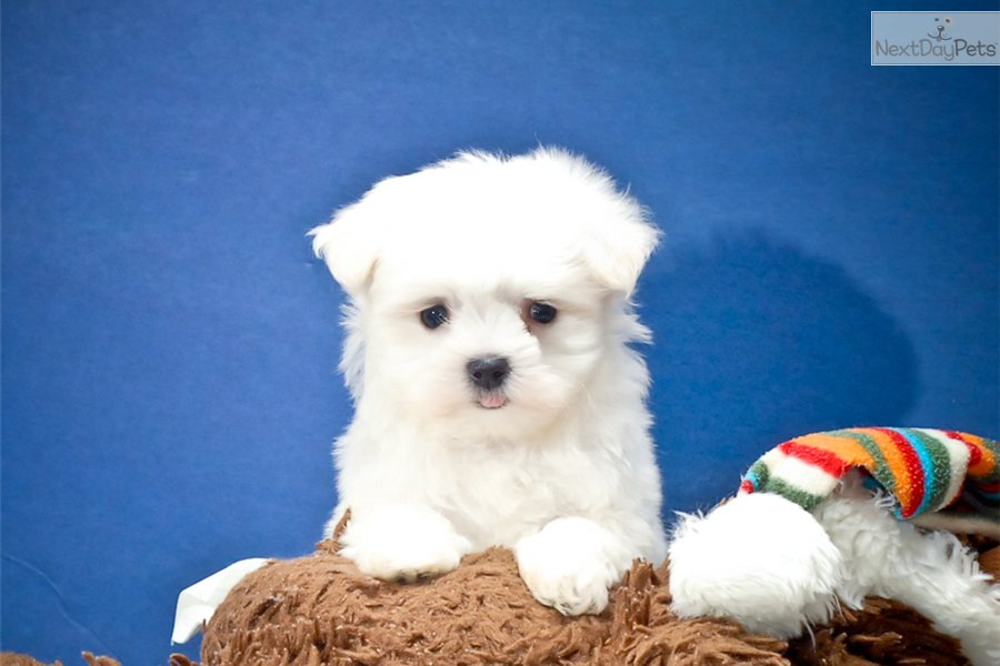 maltese puppy for sale in ohio maltese puppy for sale near cleveland ohio 3e6f870c 2e41 9442