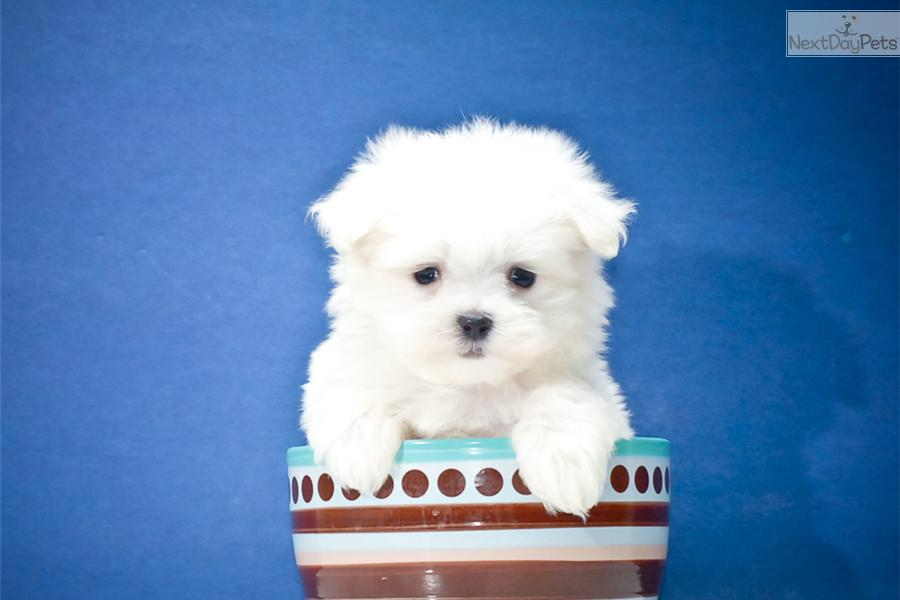 maltese puppy for sale in ohio maltese puppy for sale near columbus ohio 7c215417 6951 5184