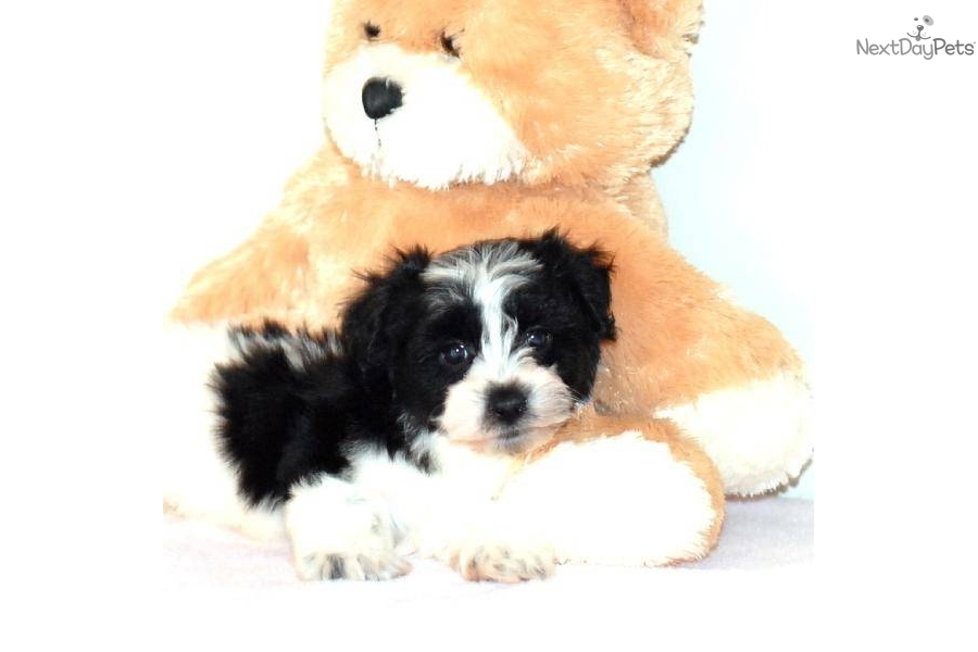 Meet Oreo A Cute Havanese Puppy For Sale For 295 Oreo