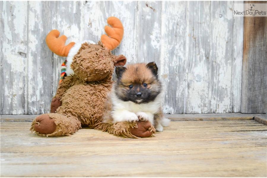 Teacup Preston: Pomeranian puppy for sale near Columbus
