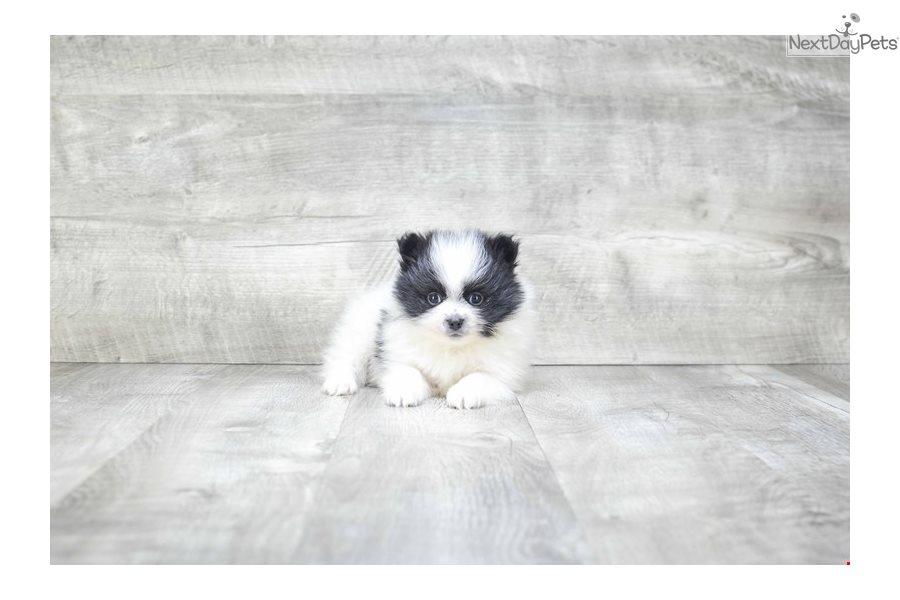 Teacup Panda: Pomeranian puppy for sale near Columbus, Ohio