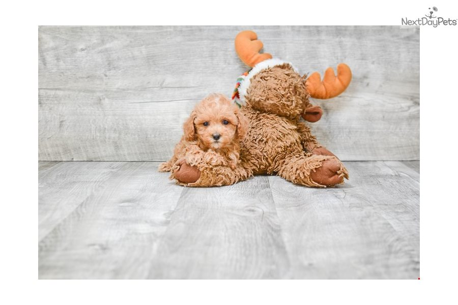 Toy Zeke Poodle Toy Puppy For Sale Near Columbus Ohio