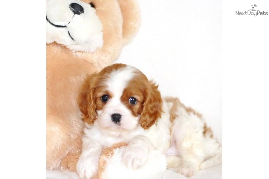 Affordable Health Insurance >> Meet Prince a cute Cavalier King Charles Spaniel puppy for sale for $545. Prince, WWW ...