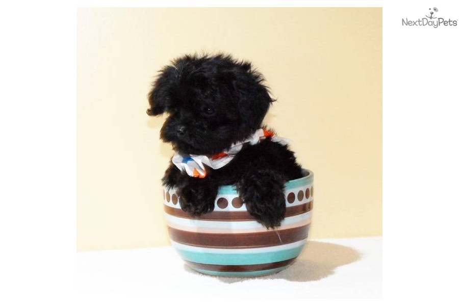 Affordable Health Insurance >> Meet Beyonce a cute Yorkiepoo - Yorkie Poo puppy for sale for $450. Teacup Beyonce, WWW ...