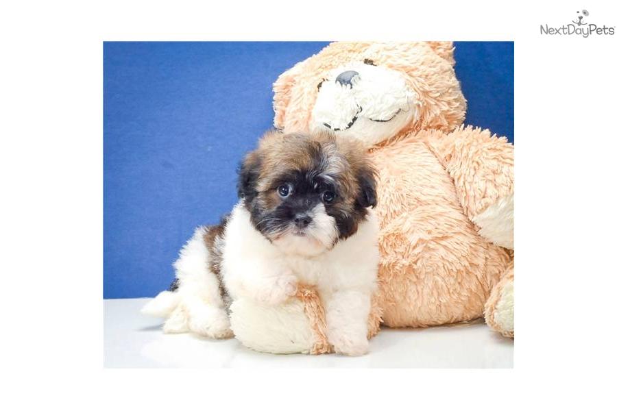 Havanese puppy for sale near Columbus, Ohio | ef4ab500-b731