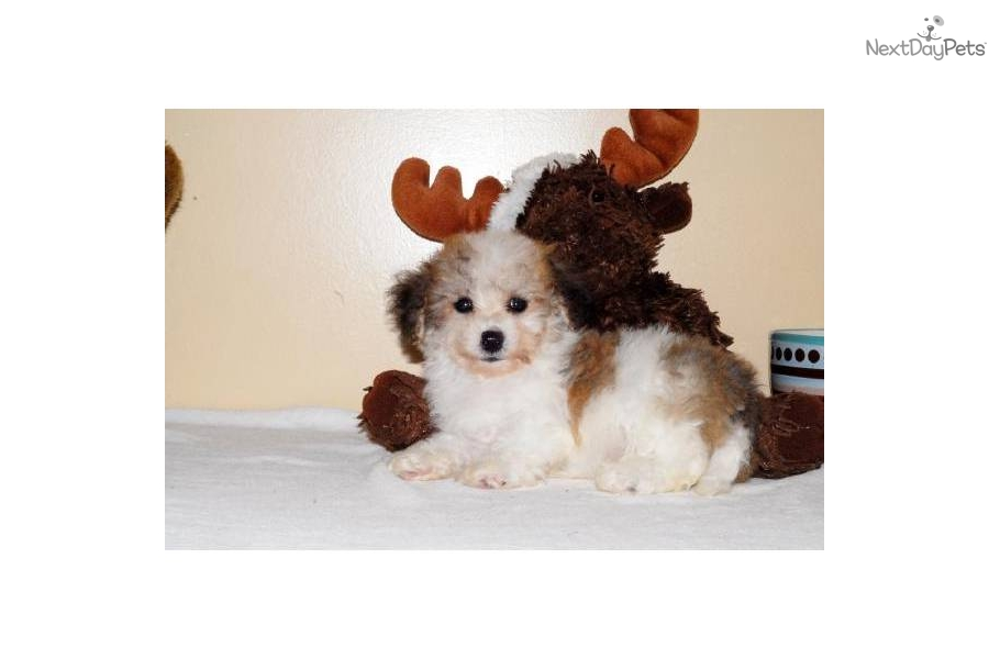 Havanese puppy for sale near Columbus, Ohio | 87995b87-2ad1