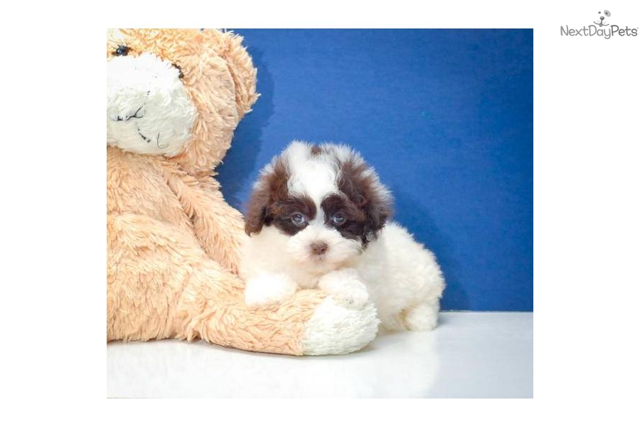 chocolate teacup maltipoo - photo #32