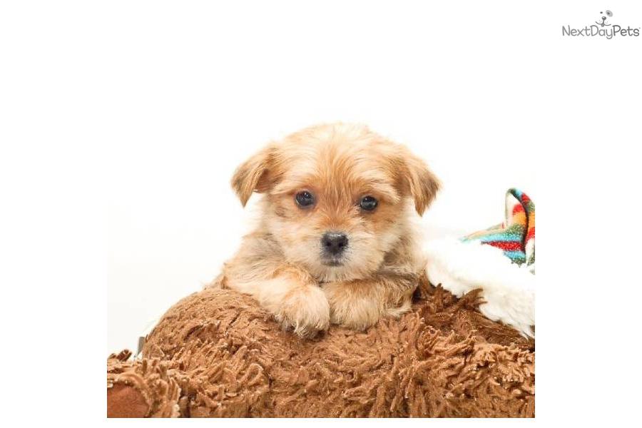Meet Teacup Jason A Cute Morkie Yorktese Puppy For Sale