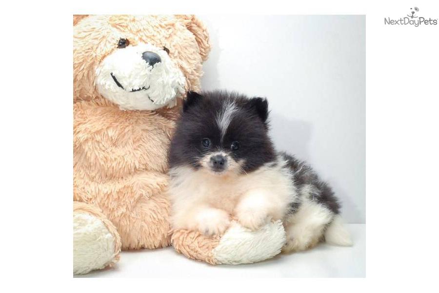 Havanese puppy for sale near Columbus, Ohio | 95aed161-c501