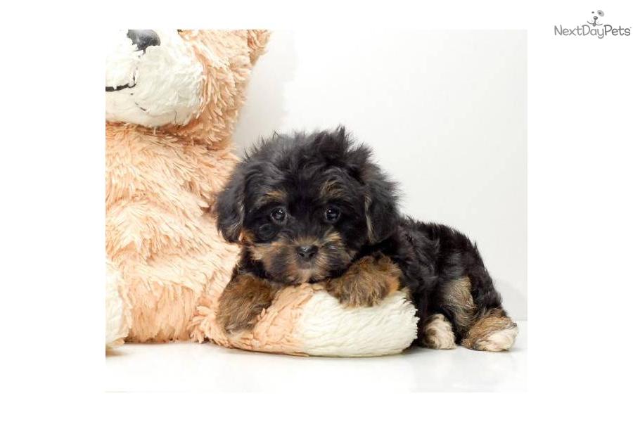 Affordable Health Insurance >> Meet Teacup Samson a cute Yorkiepoo - Yorkie Poo puppy for sale for $295. Teacup Samson, WWW ...