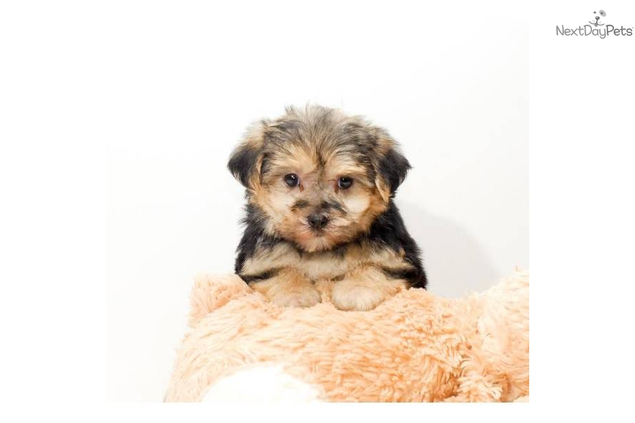 Meet Teacup Sasha A Cute Morkie Yorktese Puppy For Sale