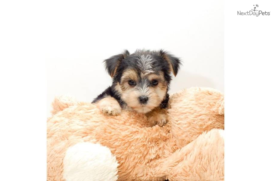 Meet Teacup Sophie A Cute Morkie Yorktese Puppy For Sale