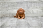 Cavachon for sale