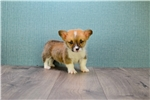 Picture of Bernie, WWW.AFFORDABLEPUP.COM