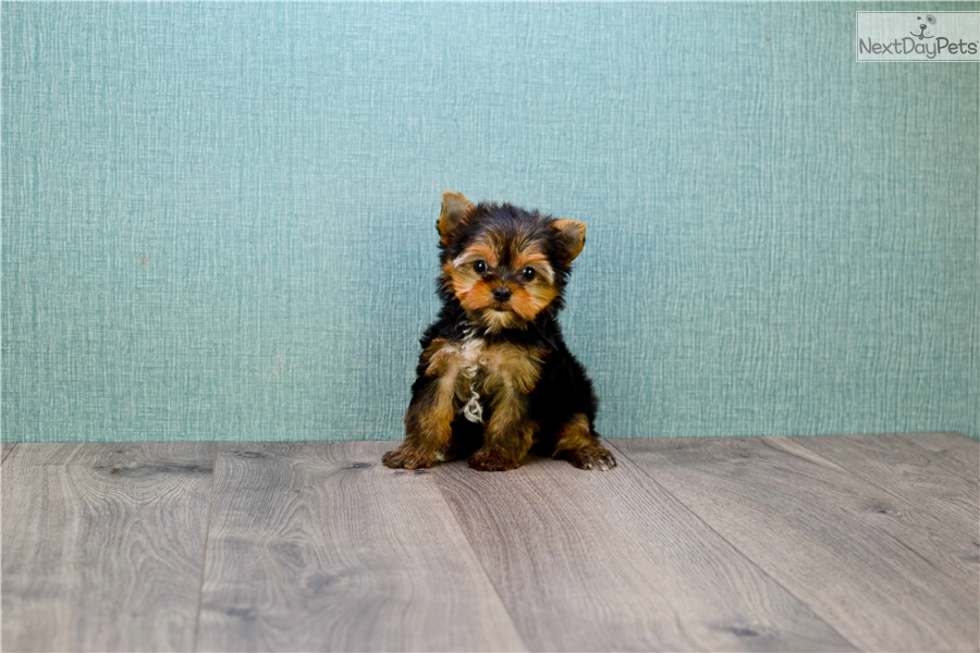 Micro Tinkerbell Yorkshire Terrier Yorkie Puppy For Sale Near