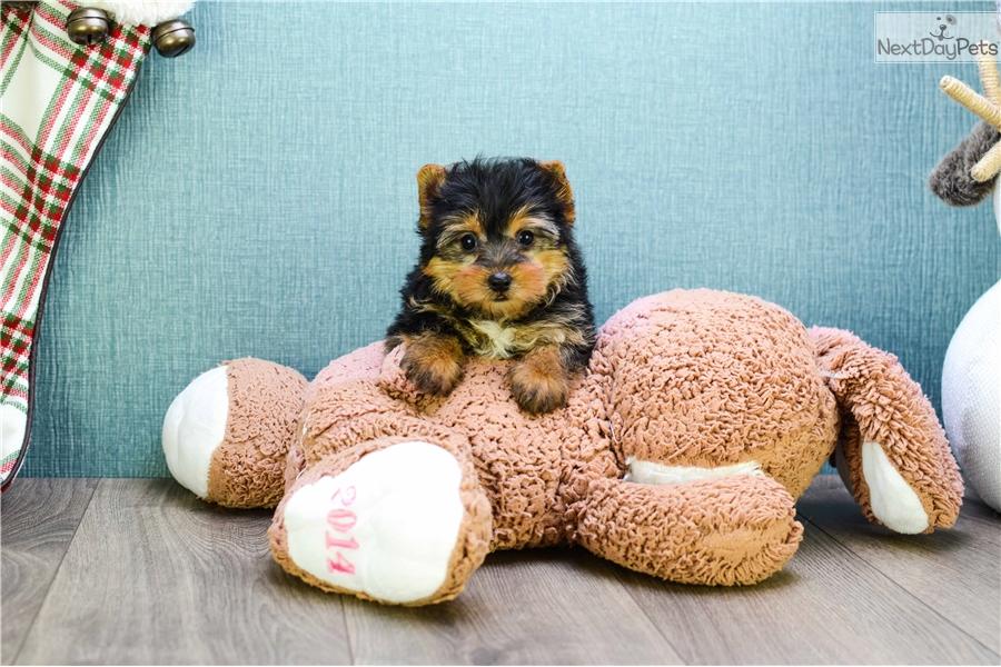 Bella Yorkshire Terrier Yorkie Puppy For Sale Near Columbus Ohio