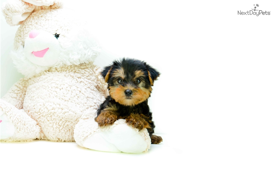 teacup yorkie puppies for sale in ohio teacup timmy yorkshire terrier yorkie puppy for sale 6306