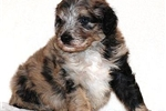 Featured Breeder of Labradoodles with Puppies For Sale
