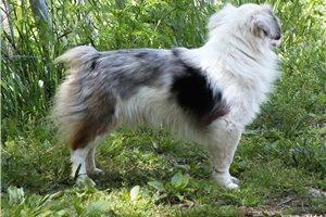 Australian Shepherd Puppies For Sale From Tennessee Breeders