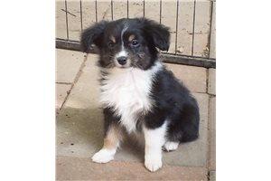 Miniature Australian Shepherd Puppies For Sale From Tennessee Breeders