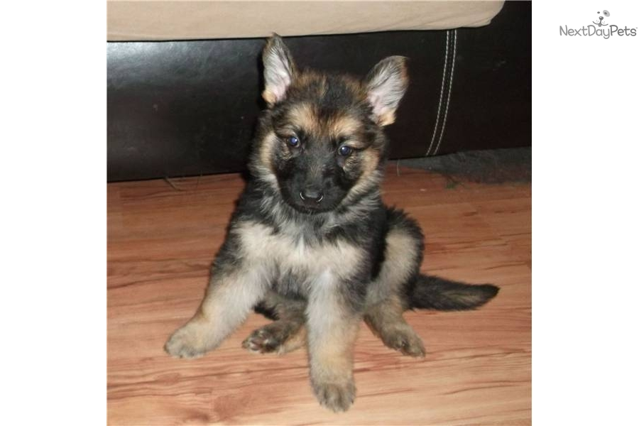 cheap german shepherd puppies free german shepherd puppies for sale in nc 3697