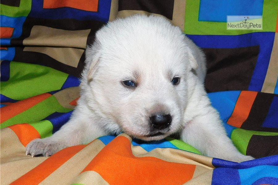 Buy White German Shepherd Puppies For Sale Near Me In Hungary
