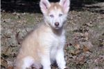 Picture of Vida *Blue-eyes* Red & White *Wooly Coat*