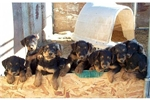 Featured Breeder of Airedale Terriers with Puppies For Sale