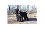 Picture of a Black Russian Terrier Puppy