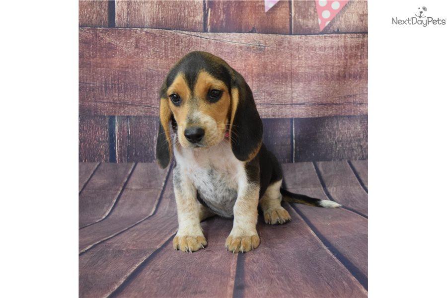 Lucy Beagle Puppy For Sale Near Springfield Missouri F42ae8ba 2b61