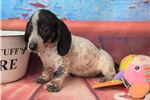 Picture of Black and whit piebald, ticking AKC