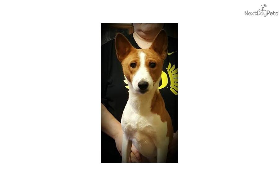 Wiley Basset Hound Puppy For Sale Near Salem Oregon 2baacc5d Eb71