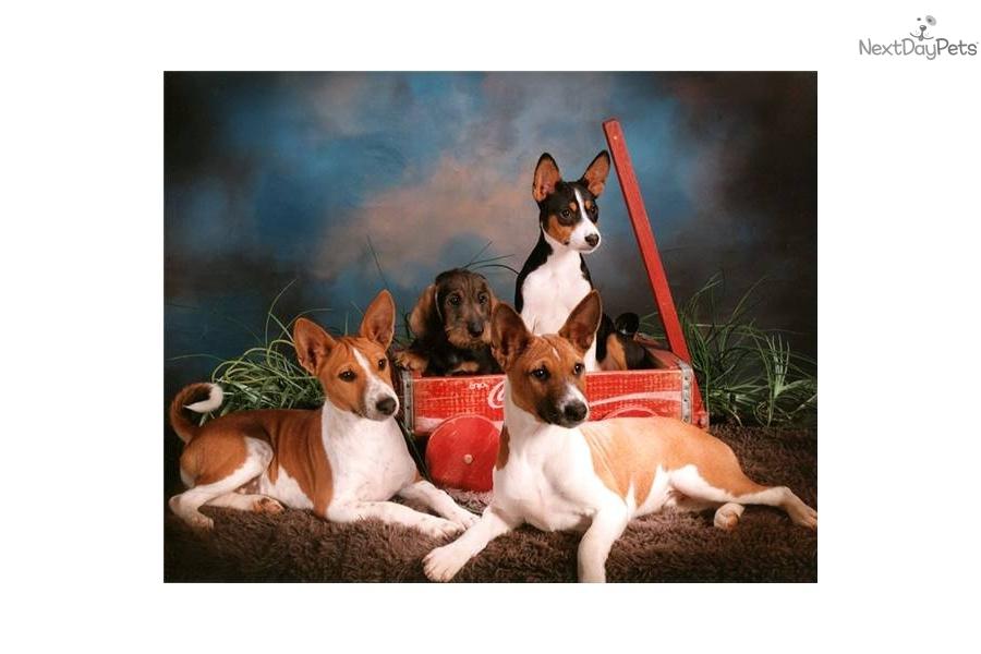 Puppies for Sale from Devils Peak - 'Dp' Basenjis - Member