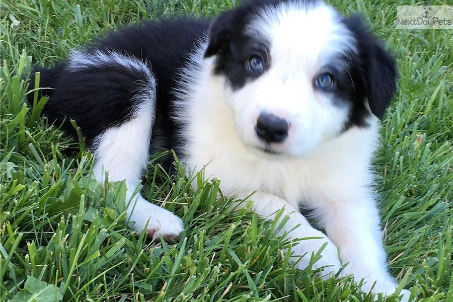Bandit Border Collie Puppy For Sale Near Phoenix Arizona