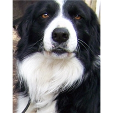 View full profile for Border Collie Puppies