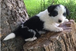 Picture of Border Collie Male. Quality!