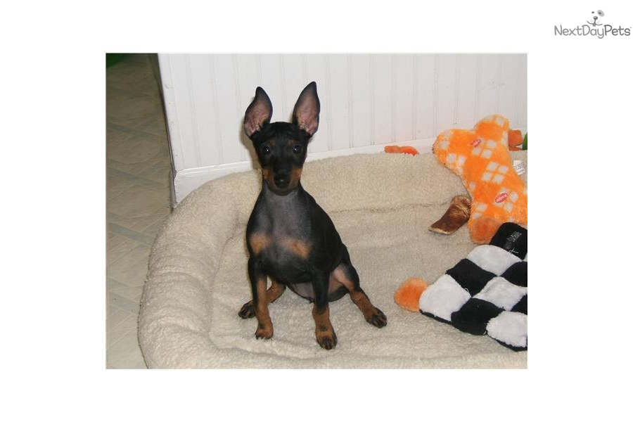 Manchester Terrier, Toy puppy for sale near Pittsburgh ...