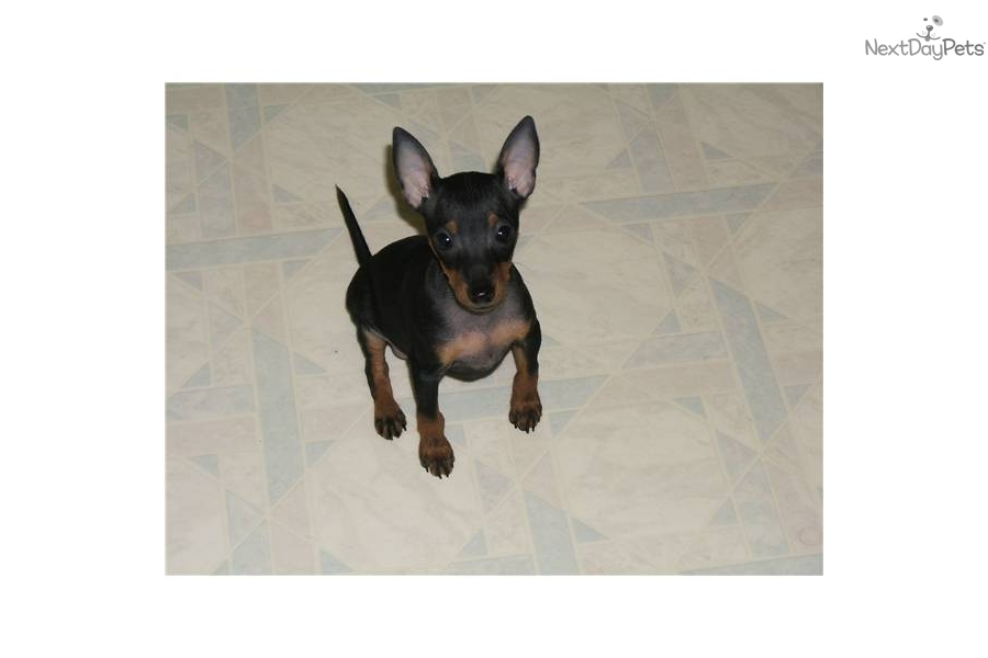 Tiny Toy Manchester Terrier Female Puppy for sale ...