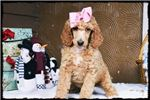 Picture of Kinsey *AKC, Free Shipping**
