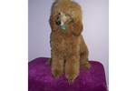 Featured Breeder of Standard Poodles with Puppies For Sale