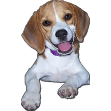 View full profile for Cedar Ridge Beagles