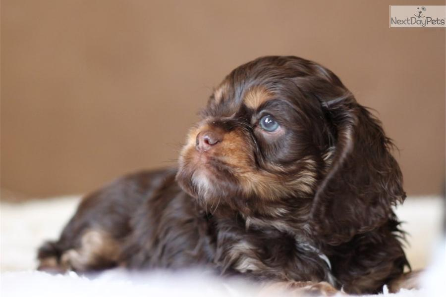 cocker spaniel for sale near me cocker spaniel puppy for sale near st joseph missouri 1535