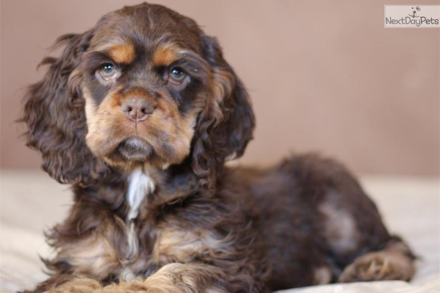 cocker spaniel for sale near me cocker spaniel puppy for sale near st joseph missouri 5616