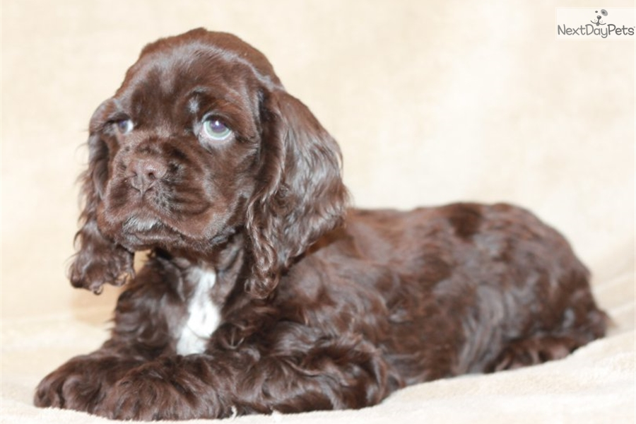 cocker spaniel for sale near me chocolate cocker spaniel puppy for sale near st joseph 9896
