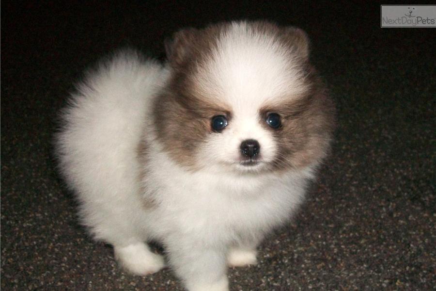Aaron: Pomeranian puppy for sale near Boston, Massachusetts