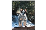 Featured Breeder of Australian Cattle Dog Blue Heelers with Puppies For Sale