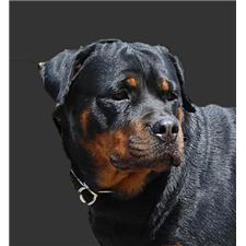View full profile for Superior Rottweilers