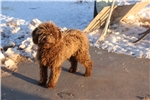 Spanish Water Dog for sale